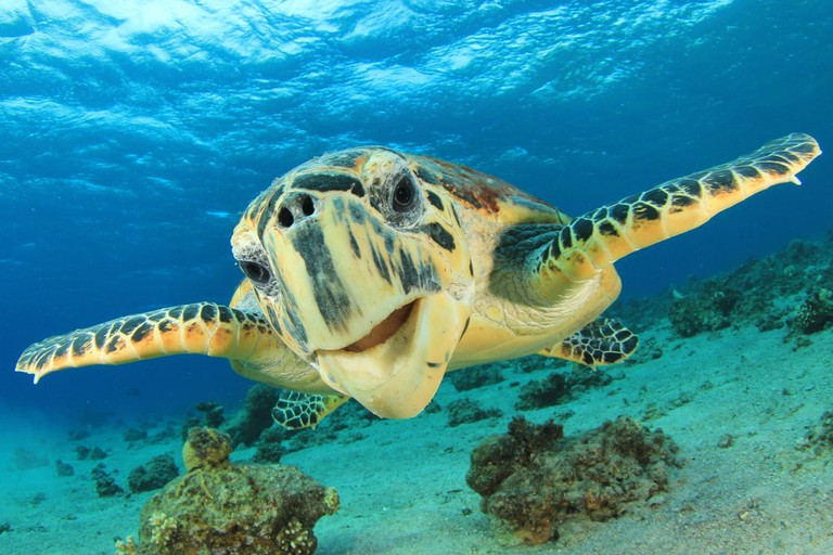 Hawksbill Sea Turtle | © Rich Carey/Shutterstock