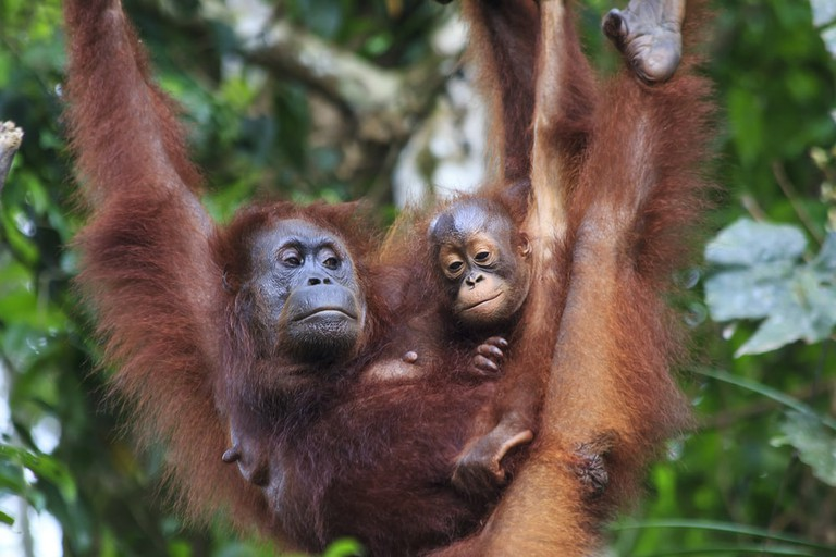 Another great place in Borneo to see baby orangutans