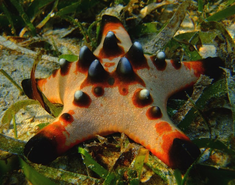 Red Horned Sea Star | © almondd/Shutterstock