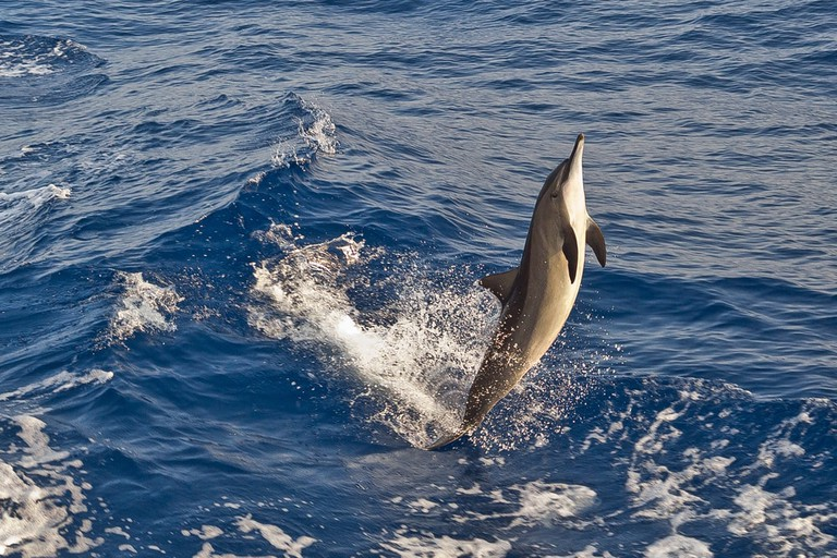 Leaping Spinner Dolphins | © Gonzalo Jara/Shutterstock