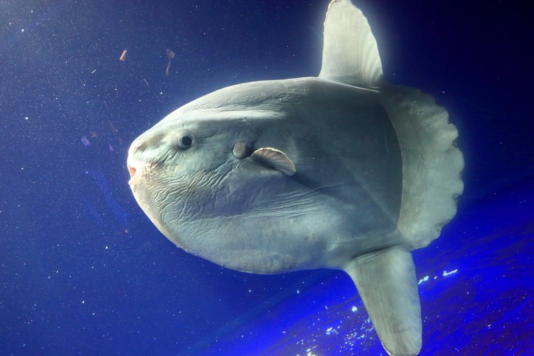The odd Ocean Sunfish | © feathercollector/Shutterstock