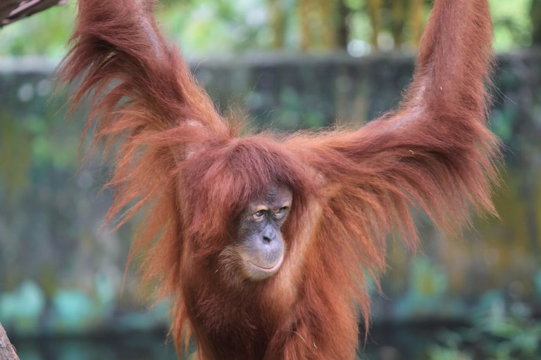 See the Orangutans in KL Zoo