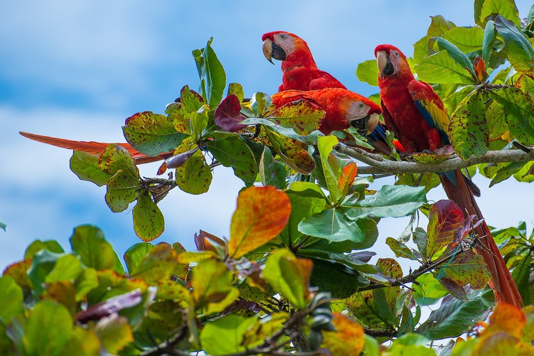 Majestic red macaws