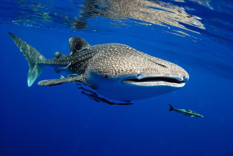 Stunning whale shark