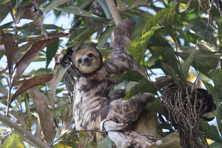 Keep your eyes peeled for sweet tree dwelling sloths