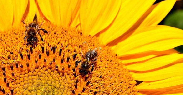 sun-flower-2510584_640 (1)
