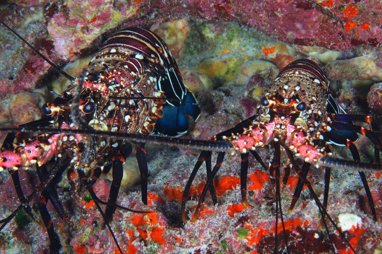 Hawaiian Spiny Lobsters | © Papahānaumokuākea Marine National Monument/Flickr