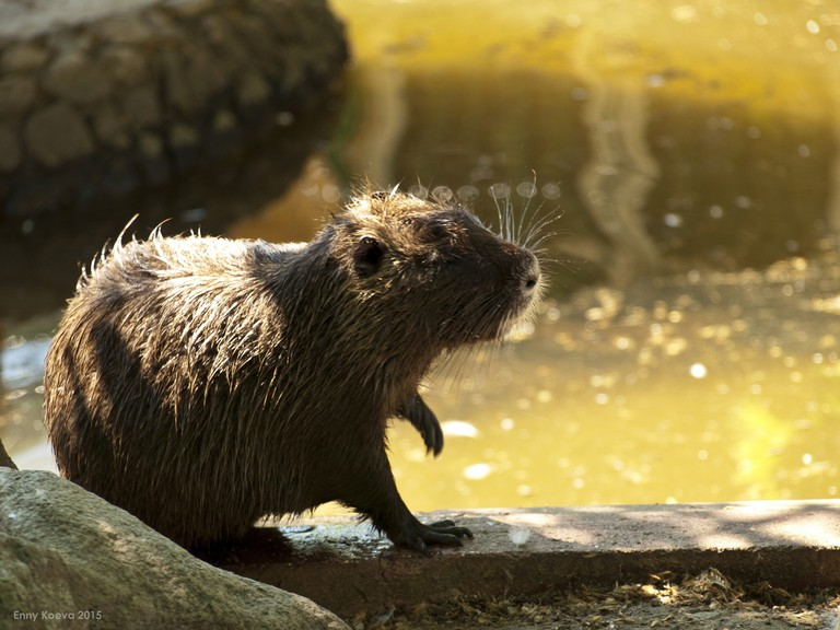 coypu on riverbank
