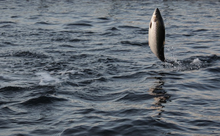 Jumping Norwegian salmon, a Viking diet staple