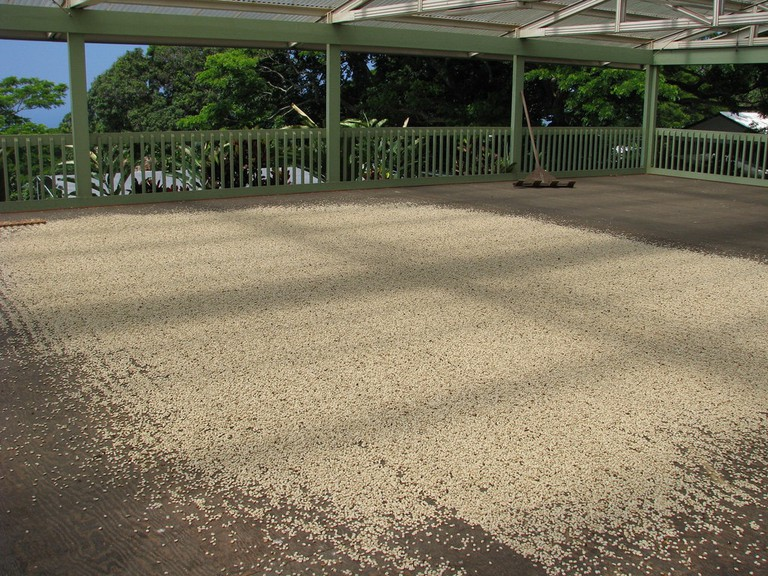 Coffee drying process at Kona farm