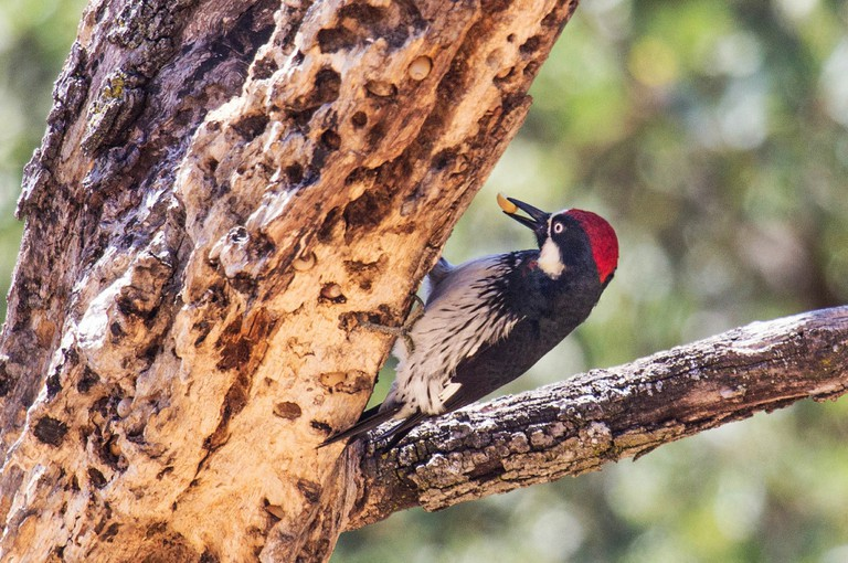 Sierra de La Laguna: a paradise for birds such as the acorn woodpecker