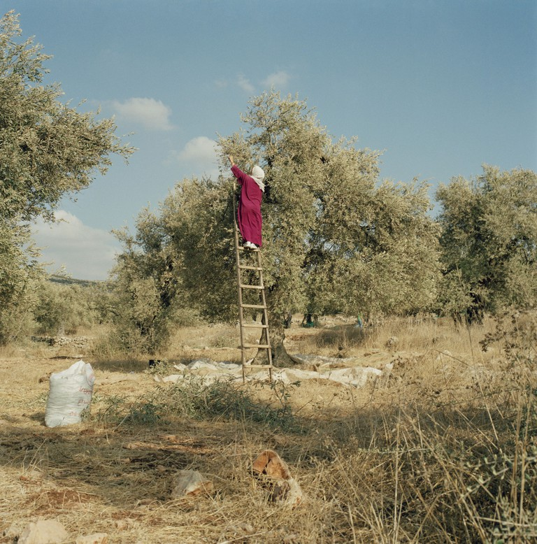 WEST BANK. Jaious. 2003. Harvesting Olives. Picking olives.