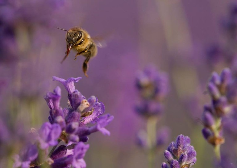 Bees in the lavender fields | © Mayfield Lavender