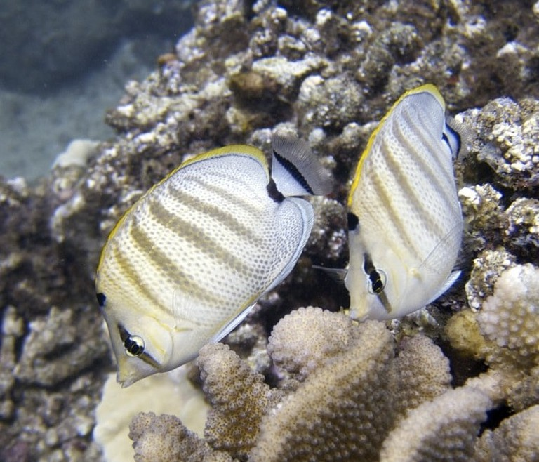 Pebbled Butterflyfish | © Henri Casanova/WikiCommons