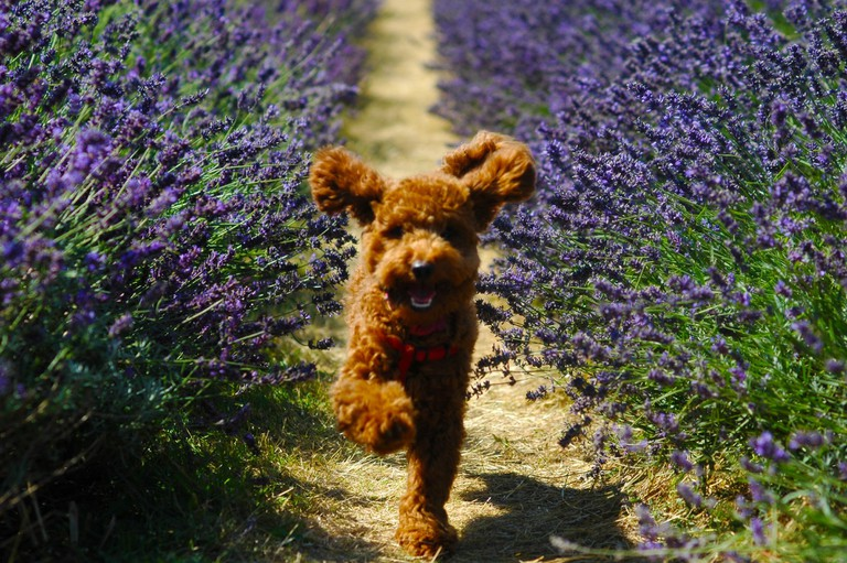 Dog running through the fields | © Mayfield Lavender