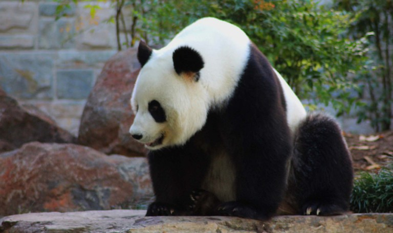 Fu Ni the panda at Adelaide Zoo © Les Haines / Flickr