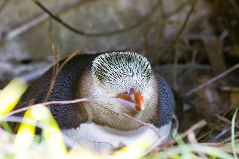 guljet-penguin-2186116_1280