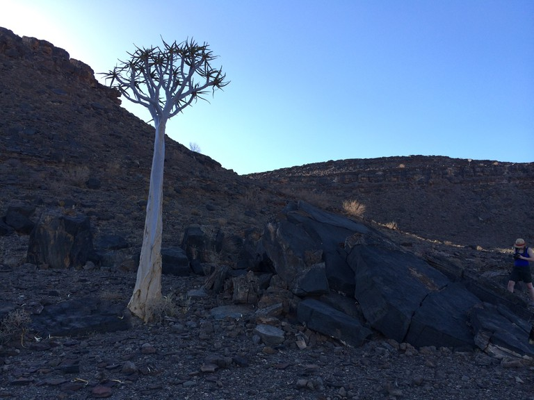 The famous quiver tree is located in the southern regions of Namibia