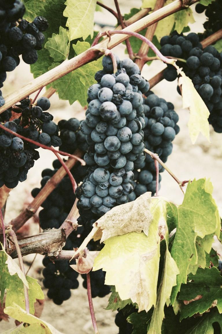 The French wine harvest |© Jassy Onyae / Unsplash