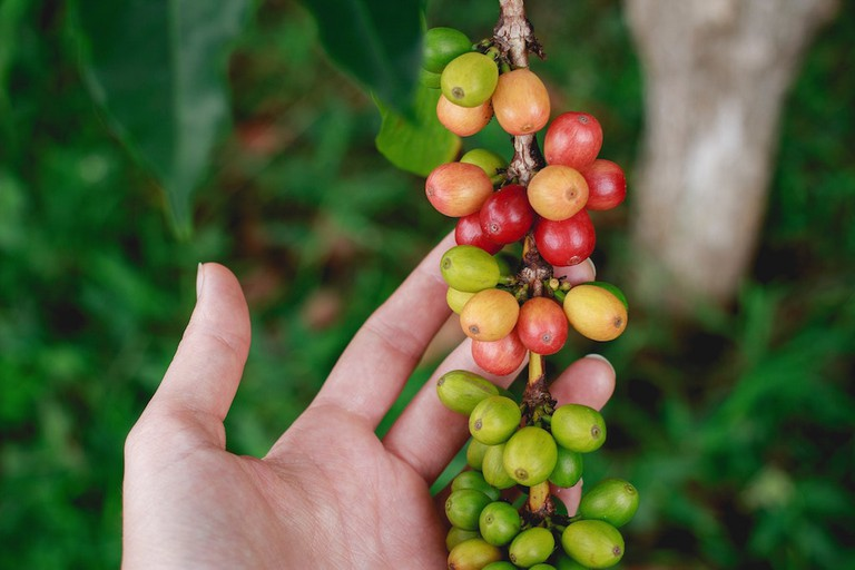 Kona coffee cherries | © Katya Austin/Unsplash