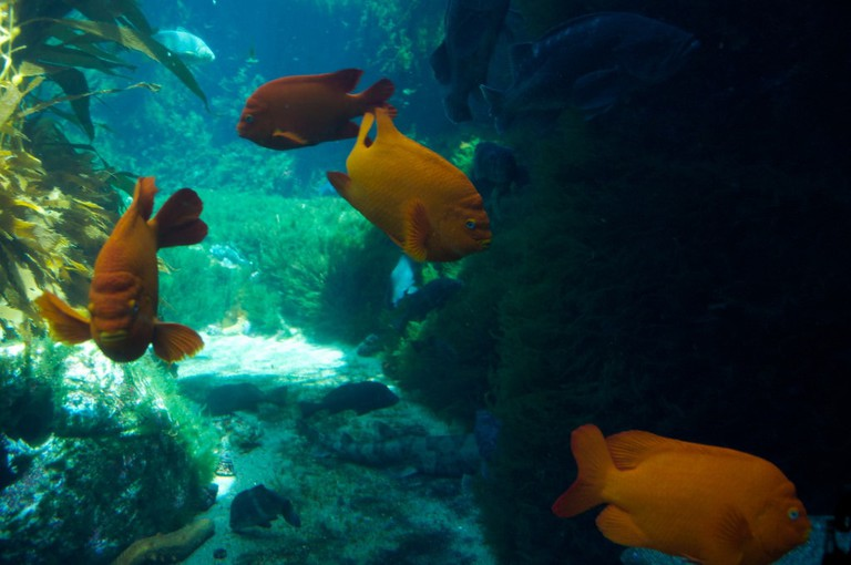 Bright orange garibaldi can be spotted swimming in the kelp forests around Catalina island.