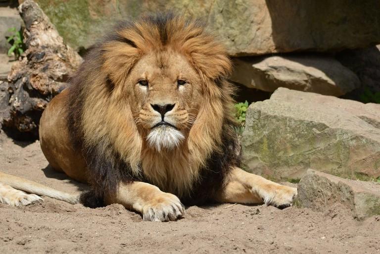 lion-218918_1280