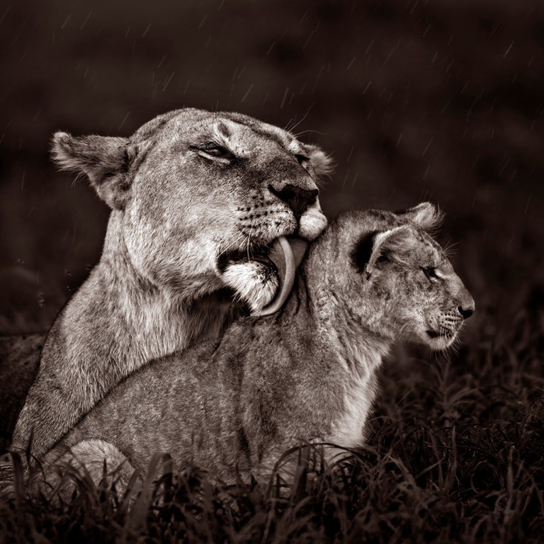 Lioness cleaning her cub under light rain