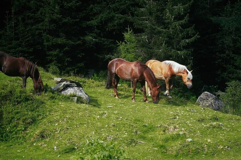 LOWRES_00000028821_Pferde-auf-Almwiese_Oesterreich-Werbung_Diejun - Edited