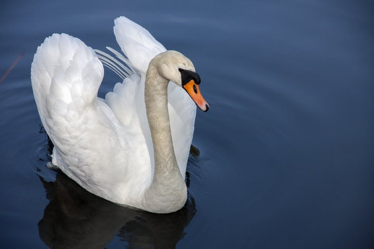 A mute swan lifting its wings
