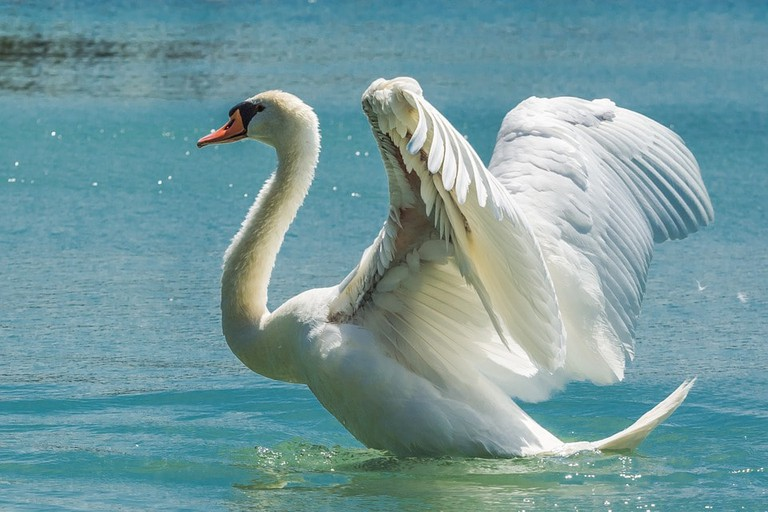 Mute swans are large birds that need plenty of space to take off and land