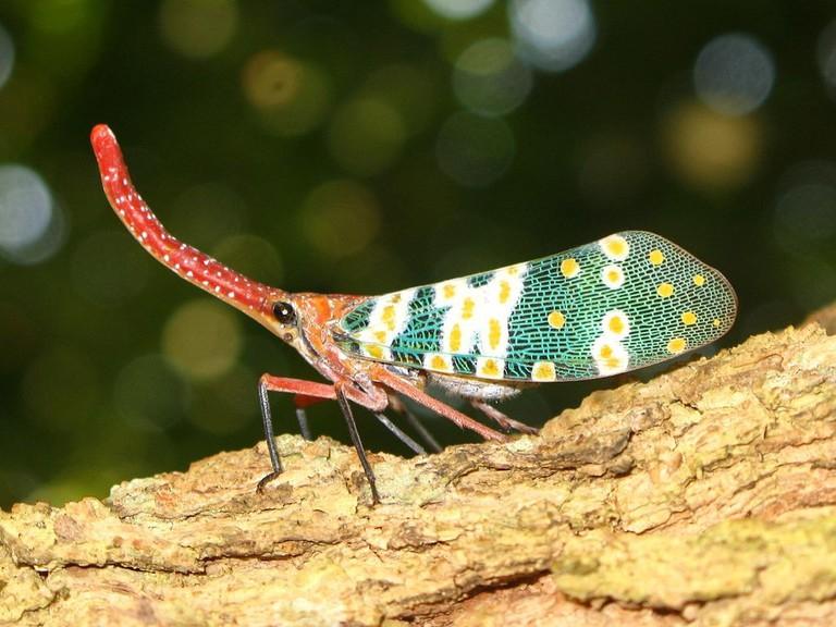 A lantern bug, Bokeo