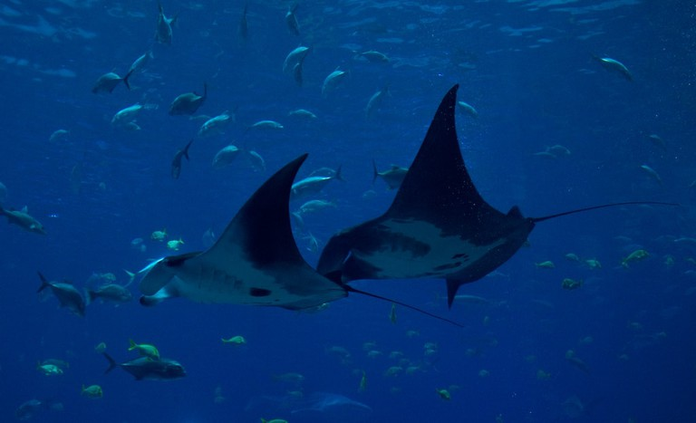 Manta rays in Costa Rica