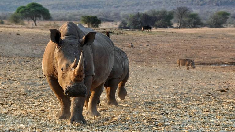 Rhino in Namibia