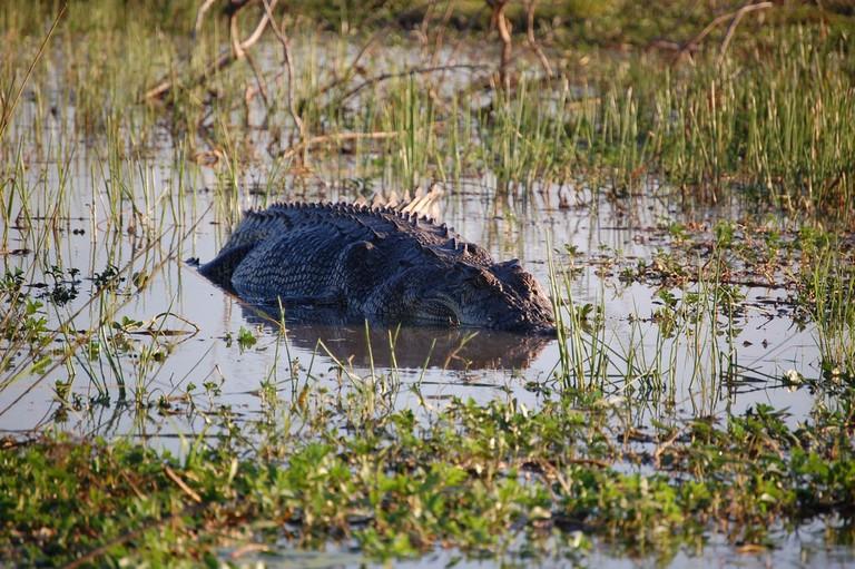 Saltwater crocodile in Arnhem Land