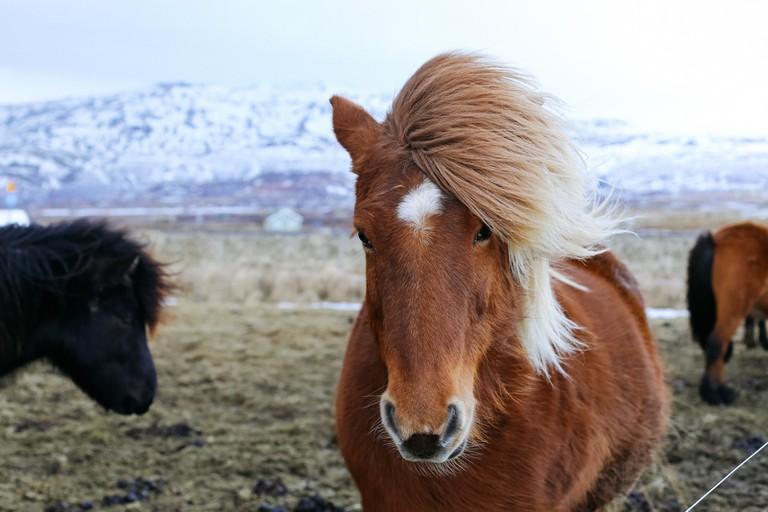 Icelandic Horse-Iceland Golden Circle Tour-Iceland