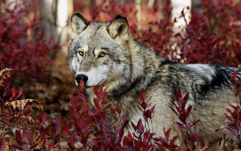 Grey wolf in beautiful red foliage