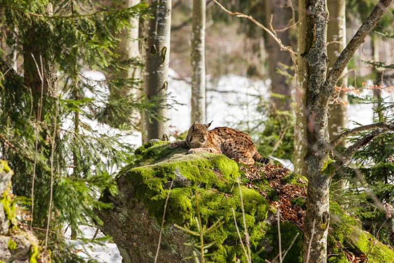 Eurasian Lynx, Bavarian Forest National Park, Germany
