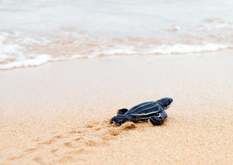 Baby leatherback turtle