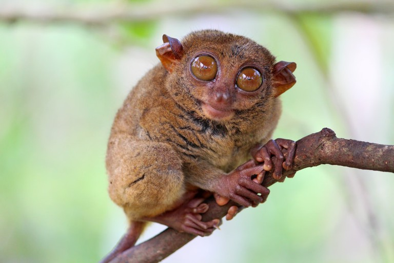 Tarsier sitting on a tree