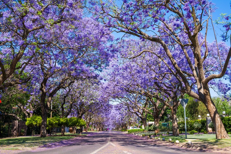 Pretoria lined with purple jacaranda trees