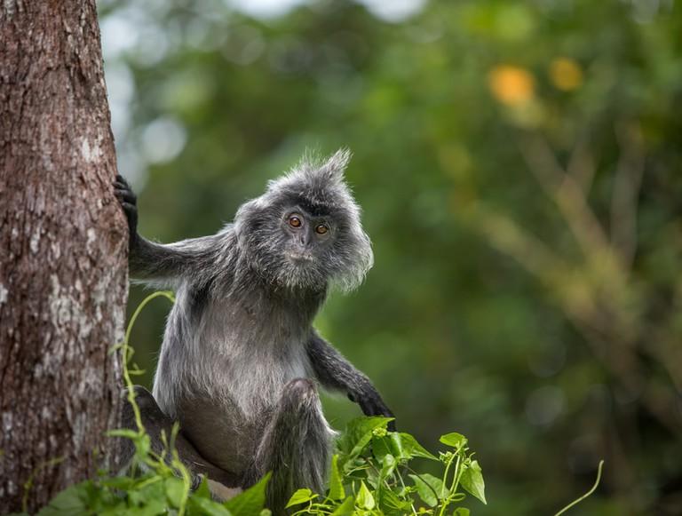 Silvered leaf monkey, Bako National Park, Malaysia