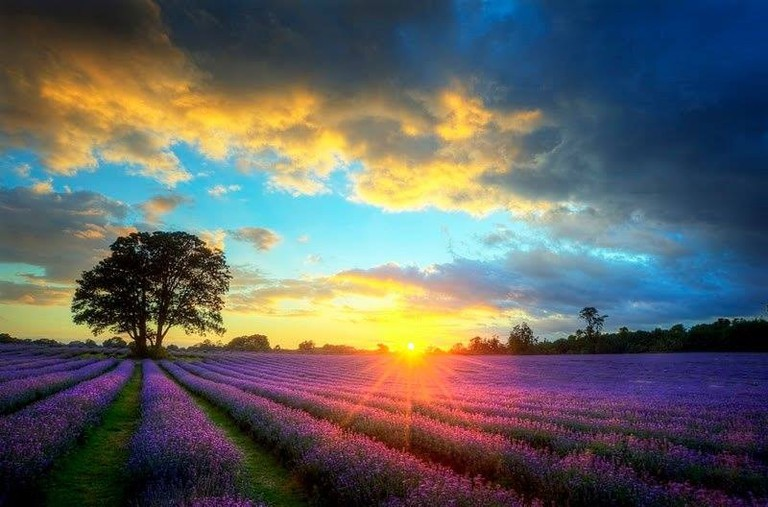 Stunning lavender fields | © Mayfield Lavender