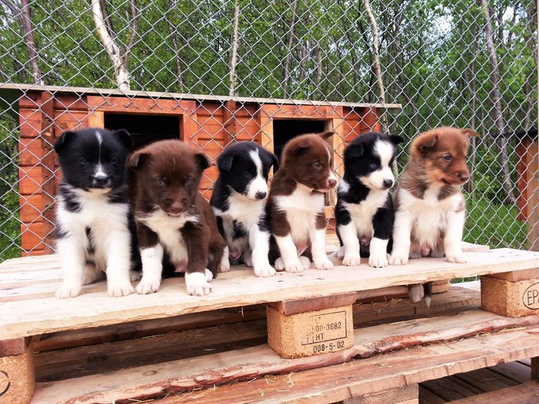The puppies at Holmen Husky Lodge