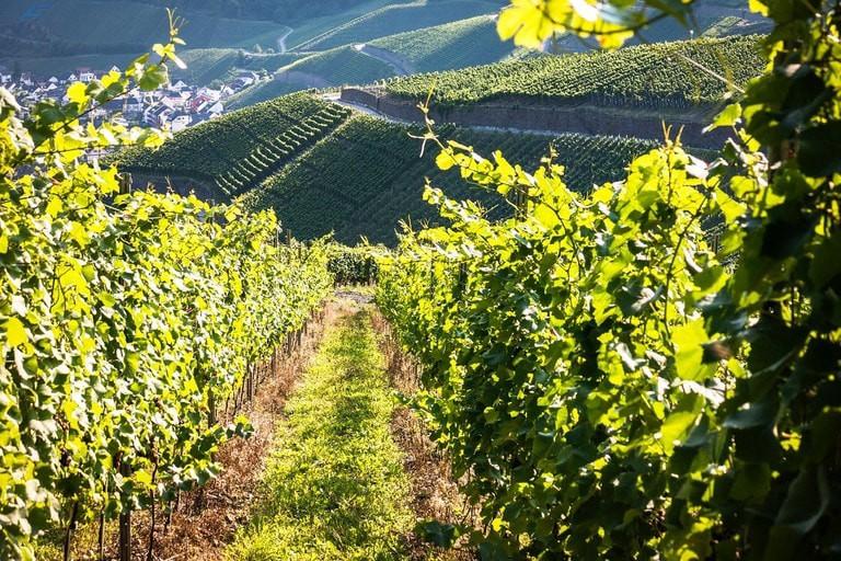 vines-928523_1280