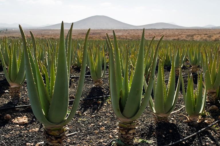 Aloe vera plantation, Fuerteventura