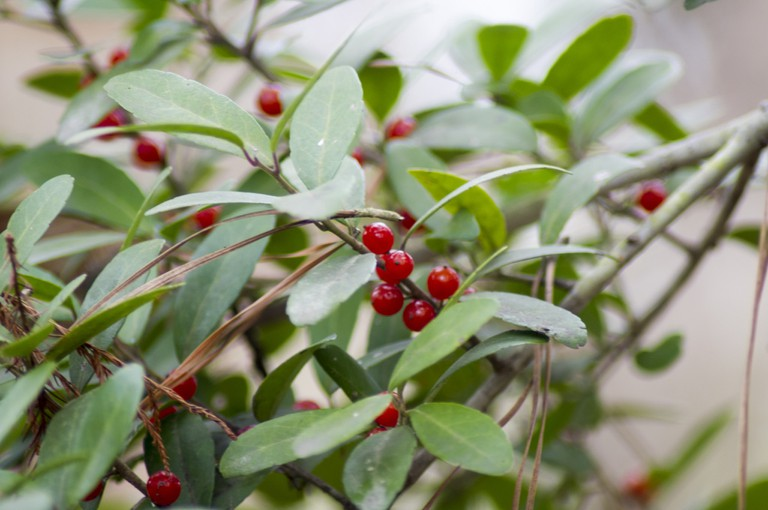 Yaupon Holly, one of the many names for the plant which cassina is made from