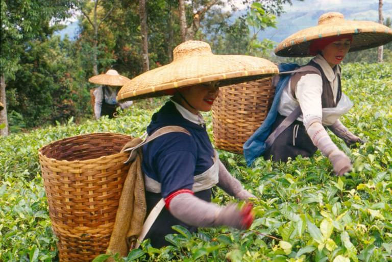 Tea Pickers, Cisarua