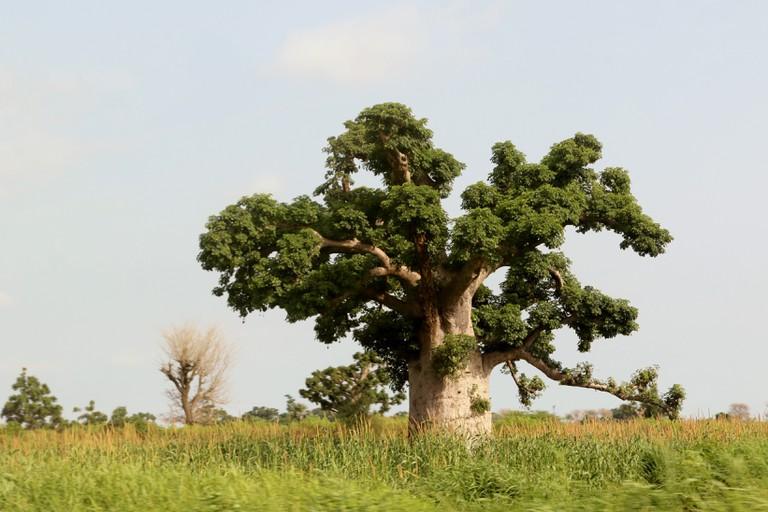 Senegal's national tree, the Baobab, in full bloom