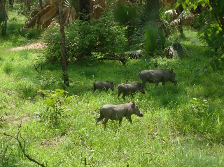 Warthogs in Niokola-Koba National Park