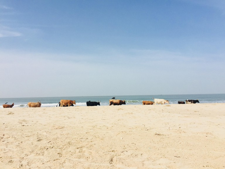 Cows on Cap-Skirring beach
